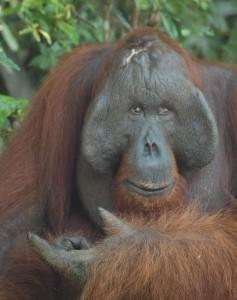 orangutan Camp Leakey