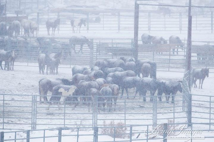 Wild horses held by the BLM.