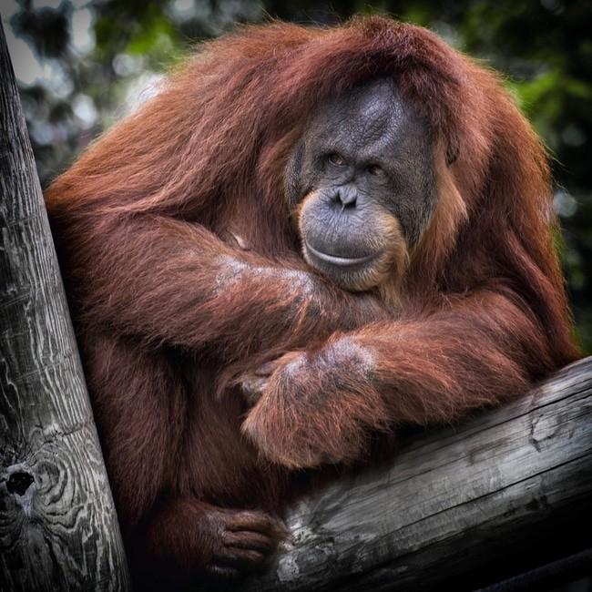 Indonesia deforestation and endangered species