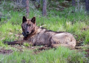 wolf California OR-25