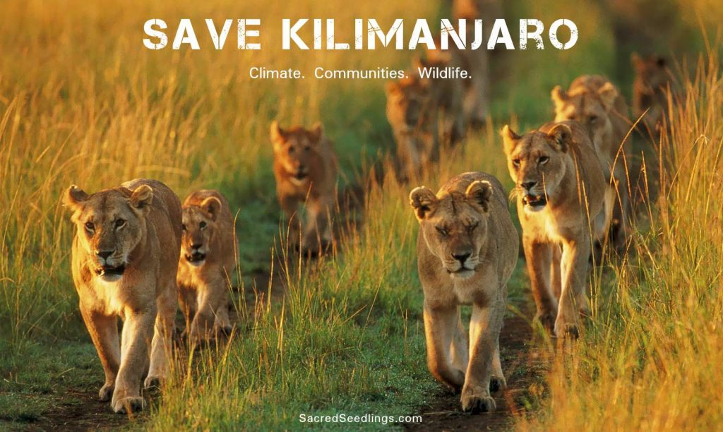 Tanzania lion conservation