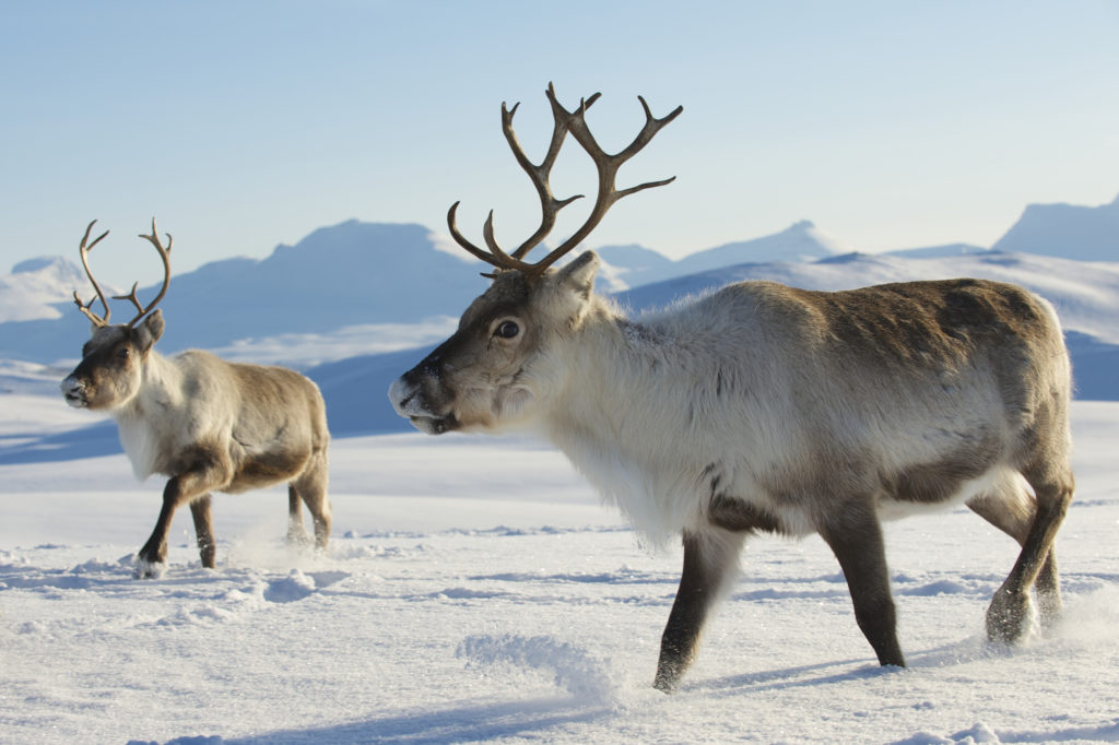 Norway CWD reindeer and moose